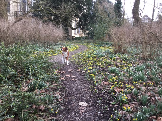 Walk with the 'Kooikerhondje' in between the Winter Aconites and Snowdrops at Philippusfenne.