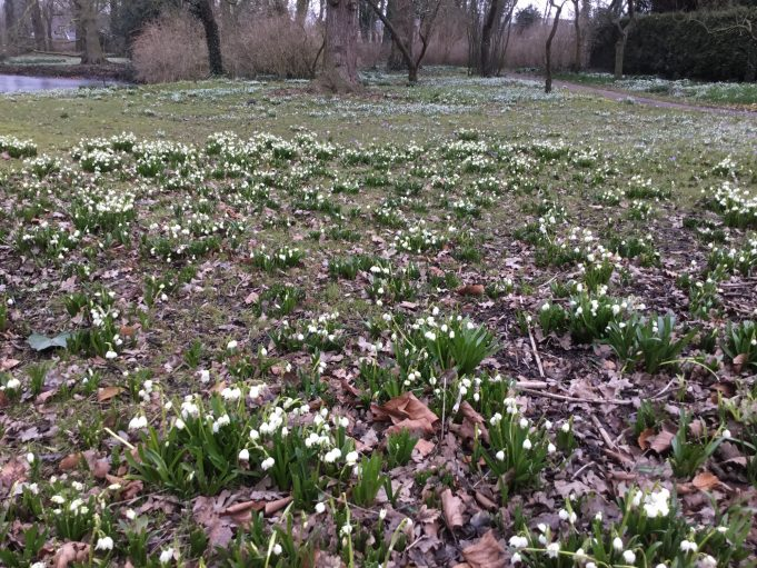 Snowflakes and, in the background, Snowdrops at Philippusfenne.