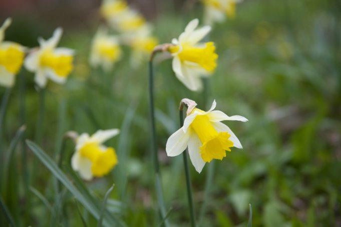 Wild Daffodil. Photo: Stinze Stiens.