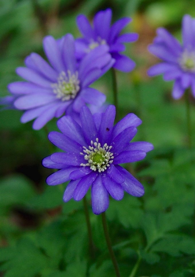 Apennine Windflower. Photo: It Fryske Gea.