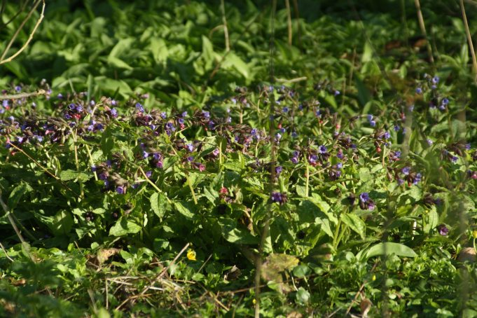 Gevlekt longkruid (Pulmonaria officinalis)