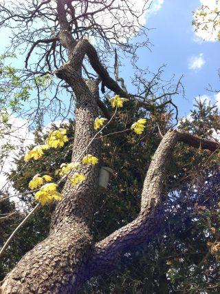 5 mei 2013 Oude perenboom Stiens.