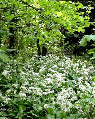 22 mei 2013. Daslook langs het bos(ma)laantje.