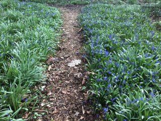 Scilla siberica along the garden path of Philippusfenne.