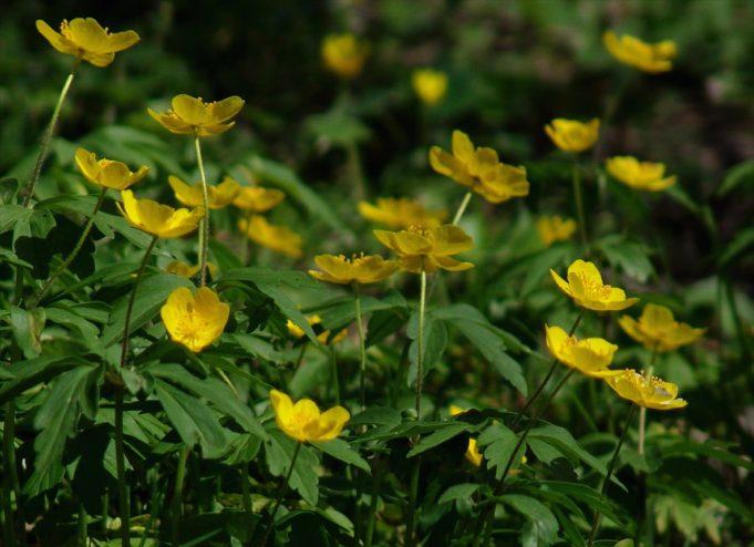 Gele anemoon (Anemone ranunculoides)