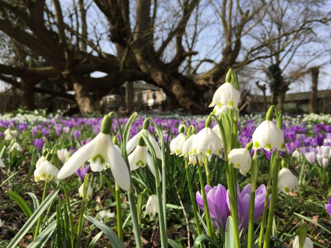 6 March 2015. Snowflakes, Snowdrops and Dutch Crocuses (Crocus vernus) in front of the Caucasian wingnut.