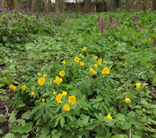 11 april 2015 Gele anemoon, Holwortel en Gevlekt longkruid langs het bos(ma)laantje.