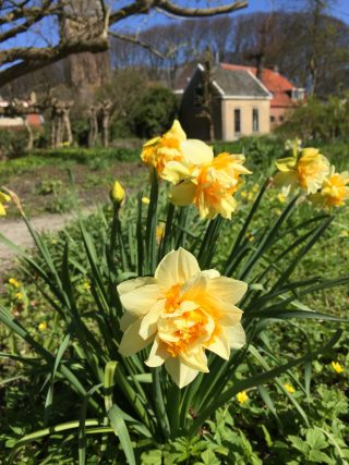 Narcis in moestuincirkel. 18 april 2015.