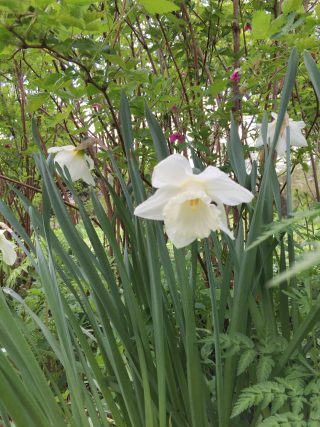 Mount Hood, Daffodil in the vegetable garden circle. 2 May 2015.