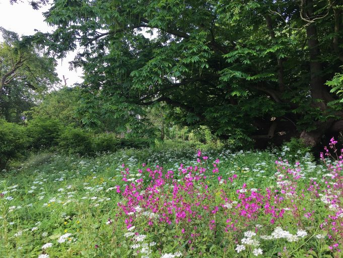 25 June 2015. Red campion and Ground Elder in the bed in front of the Caucasian wingnut.
