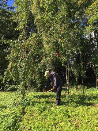9 september 2015. Maaien met de zeis in de boomgaard.