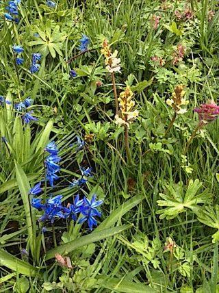 Sterhyacint, Holwortel en Vingerhelmbloem bij de Schierstins