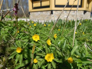 Gele anemoon bij Dekema State.
