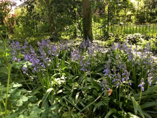 'Spaanse hyacint' (met de belletjes rondom) in de Martenatuin (Franeker).