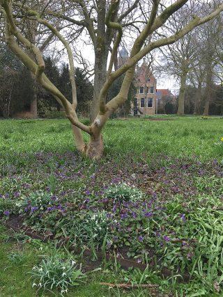 Gevlekt longkruid in de Martenatuin (Franeker).