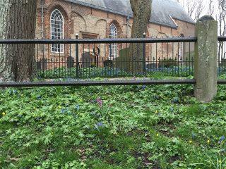 Holwortel en Sterhyacint op eh bij het St. Vitus kerkhof in Stiens.