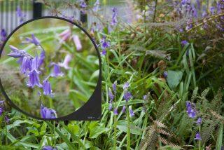 Wilde hyacint in de voortuin bij Stinze Stiens.