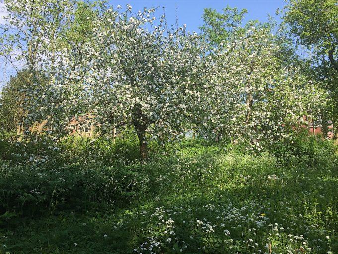 De 'Mondriaanboom' (Notarisappel) in bloei. Eromheen Fluitenkruid, Salomonszegel, Daslook, Gewone vogelmelk.