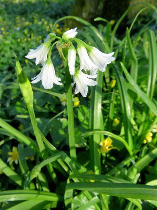 Driekantig look (Allium triquetrum) op Jongemastate.