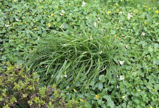 Bochtig look (Allium zebdanense) bij boerderij bij Dronrijp. Foto: Trudy van Riemsdijk-Zandee.