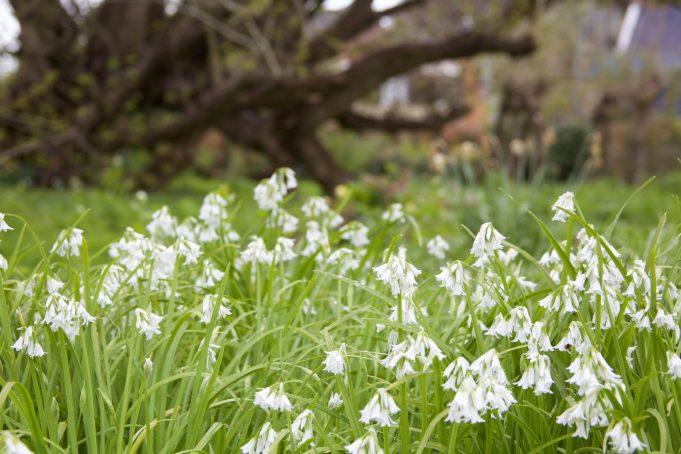 Driekantig look (Allium triquetrum) bij Stinze Stiens.