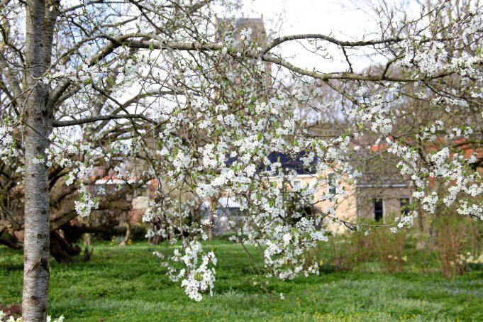 De Wichter pruimenboom in bloei bij Stinze Stiens