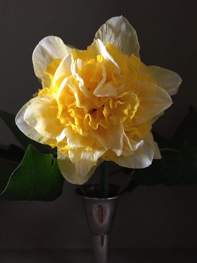 Narcis, vermoedelijk Holland's Glory bij Stinze Stiens