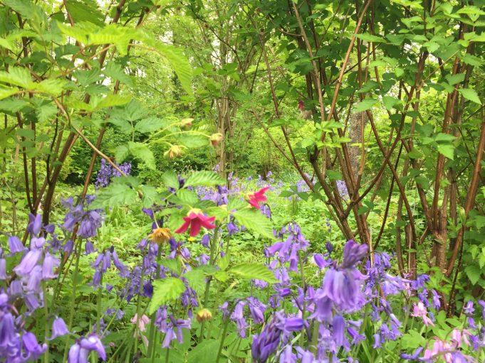 Wilde hyacint rond de Prachtframboos bij Stinze Stiens