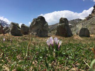 Crocus vernus (white-purple), Julierpass (Switzerland).