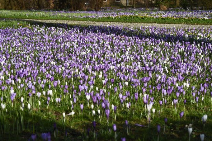 Bonte crocus in de Pastorietuin in Easterein