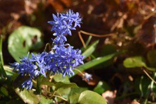 De 'herontdekte' Sterhyacint (Scilla bifolia) in de Pastorietuin Easterein