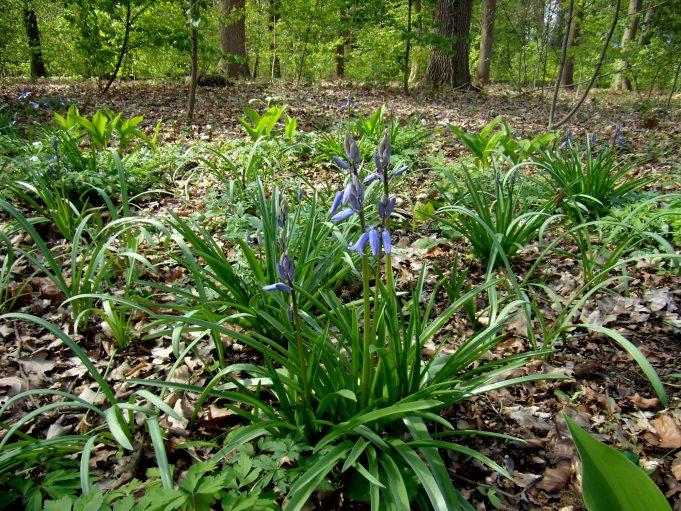 Spaanse hyacint en Lelitejs van dalen bij Hackfort