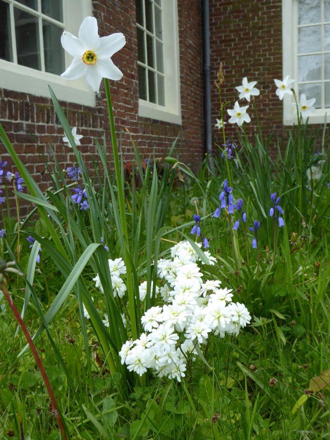 Haarlems klokkenspel, Dichtersnarcis en Wilde hyacint bij de Schierstins