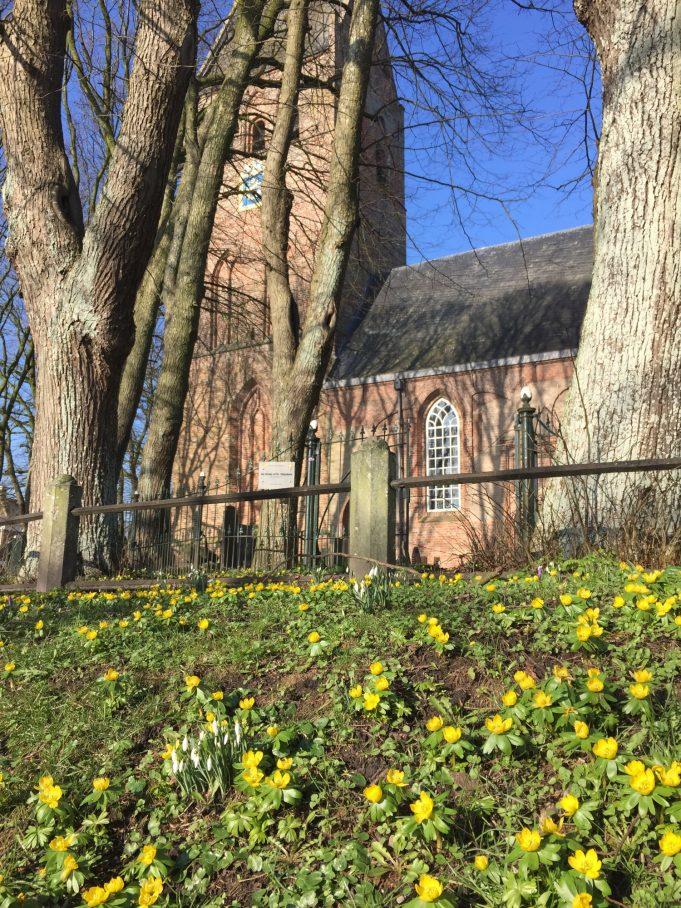 De Winterakonieten op het St. Vituskerkhof in Stiens
