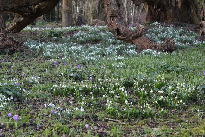 Snowflakes, Snowdrops, Dutch crocus and leaves of the Wild Tulip and the Italian Lords-and-Ladies at Stinze Stiens.