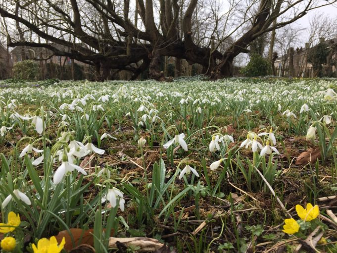A 'yellow snowdrop' (Galanthus nivalis 'Sandersii') has also been discovered at Stinze Stiens.