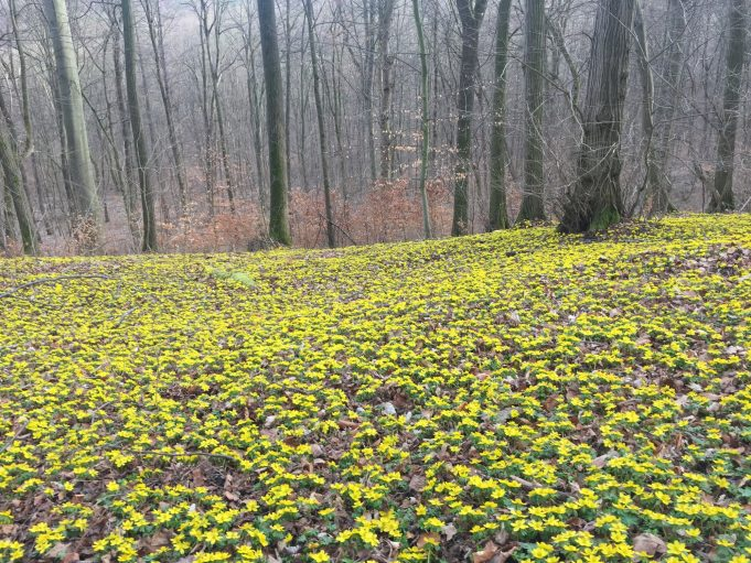 Winter Aconites at Closewitz (Germany).