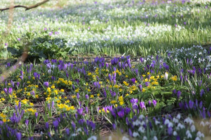 Winter Aconites, Dutch Crocuses and Snowdrops at Stinze Stiens.