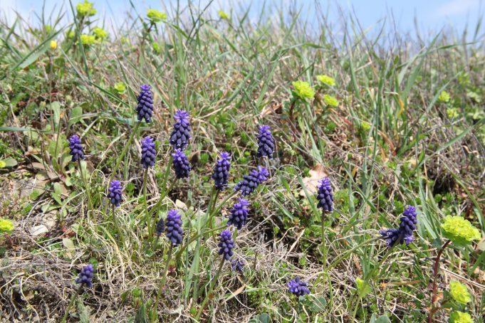 Slovenië, Blauwe druifjes en Chrysosplenium alternifolium. Foto: stinze Stiens.
