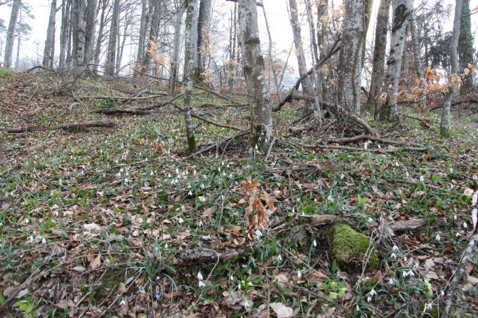 Slovenia. Snowdrops, Liverleaf, Helleborus odoratus in Hornbeam forest. Photo Stinze Stiens 27.03.2018.