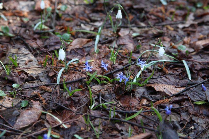 Slovenia, Snowdrops and Scilla bifolia. Foto Stinze Stiens, 28.03.2018.