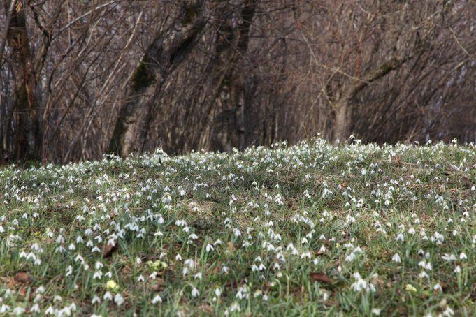 Slovenië, Sneeuwklokjes in boomgaard bij een boerderij. Foto Stinze Stiens, 28.03.2018.