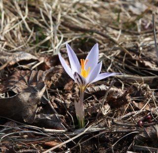 Slovenia, Crocus reticulatus. Photo Stinze Stiens 28.03.2018.