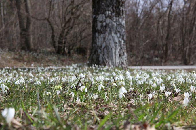 Slovenië, Sneeuwklokjes en Crocus vernus subsp. albiflorus. Foto Stinze Stiens, 28.03.2018.