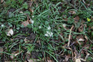 Slovenië. Isopyrum thalictroides. Foto: Stinze Stiens.