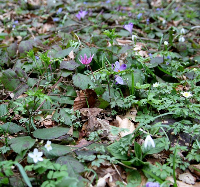 Slovenia, Dog's Tooth Violet, Crocus vernus, Snowdrops, Wood Anemones, Annual Mercury. Photo Stinze Stiens, 29.03.2018.