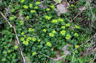 Slovenië, Chrysosplenium alternifolium. Foto: Stinze Stiens.