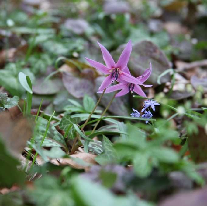 Slovenia, Dog's Tooth Violet and Scilla bifolia. Photo Stinze Stiens, 27.03.2018.
