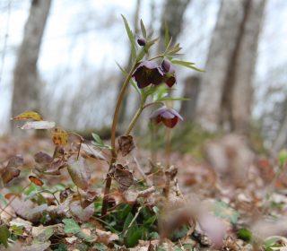 Slovenia, Helleborus artrorubens. Photo: Stinze Stiens.