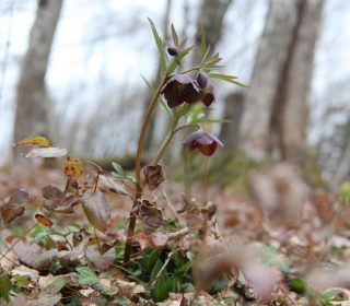 Helleborus artrorubens in Slovenië. Foto: Stinze Stiens.
